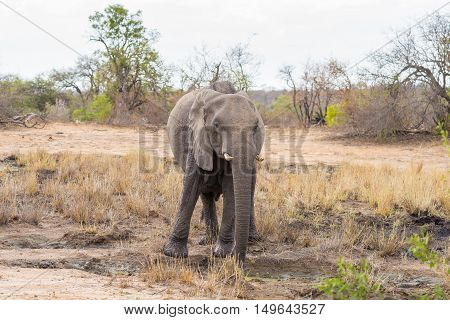 One Single African Elephant Walking In The Distance. Wildlife Safari In The Kruger National Park, Th