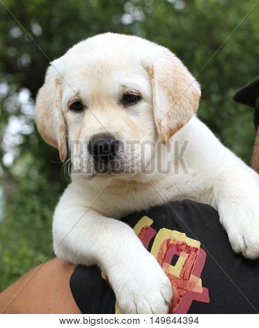 A Cute Little Labrador Puppy On A Shoulder
