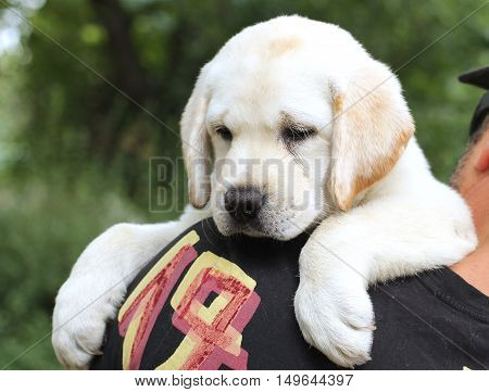 The Cute Little Labrador Puppy On A Shoulder