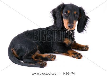 Dachshound Puppy Lying