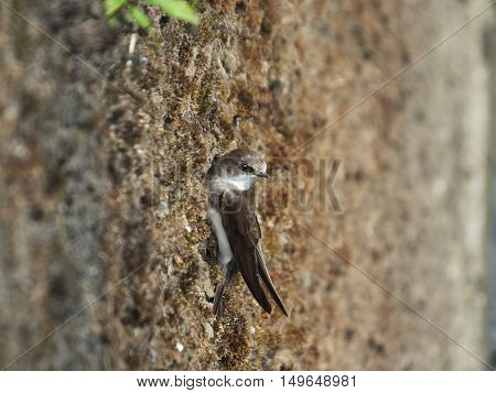 Sand Martin on riverside wall in which it has a nesting burrow
