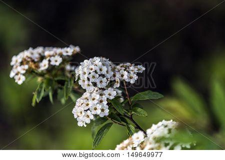 small white compound flower outdoor macro closeup