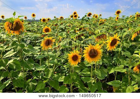 summer warm day in the field of flowers beautiful bright yellow sunflower with big leaves