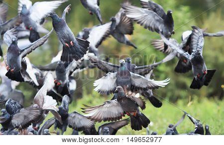 flock of rock pigeons flying toward spread their wings