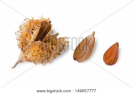 European beechnuts on white background, also called mast. Burr and cupule with seeds, nut and a shelled nut of European beech, also common beech or Fagus sylvatica. Macro food photo close up.