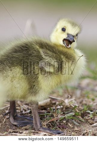 Beautiful isolated photo of a funny chick of Canada geese on the field