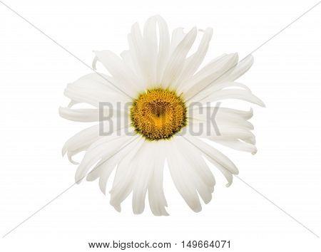 single elegance daisy on a white background