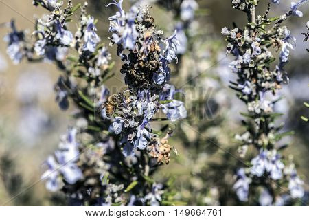 Bees searching for pollen on thyme flowers