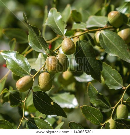 Jujube fruit ripening on a branch among green leaves