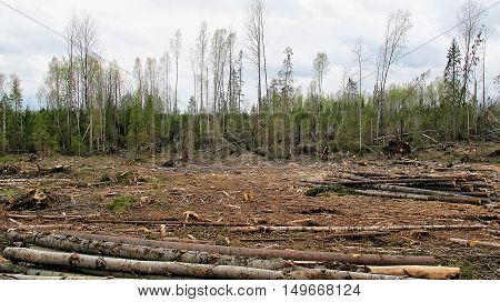 Polyana felled trees in the forest environmental disaster. deforestation