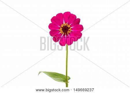single zinnias flower isolated on white background