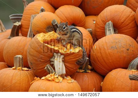 A little eastern chipmunk eating a pumpkin at a farm stand in Massachusetts in Fall.