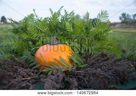 Harvested pumpkin on lawn over autumn nature leaves background