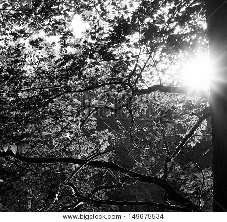 sun rays shining through a tree with spiderwebs. black and white.