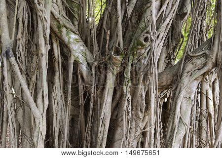 Old banyan close up in Miami Florida