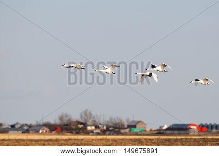 Tundra Swans in Flight over a prairie wetland Alberta Canada