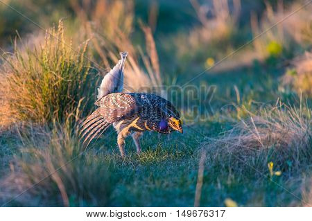 Sharp-tailed Grouse Lek