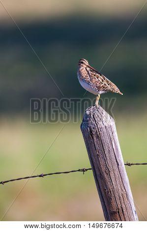 Wilson's Snipe on a farmland fencepost in spring