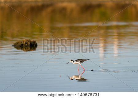 Black-necked Stilt feeding in a prairie wetland