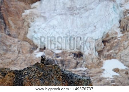 Canadian Marmot and glacier. Banff National Park. Canadian Rocky Mountains. Alberta. Canada.