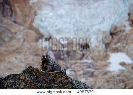 Hoary Marmot and glacier. Jasper National Park. Canadian Rockies. Alberta. Canada.
