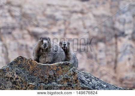 Couple of Hoary Marmots on rocks. Jasper National Park. Canadian Rocky Mountains. Alberta. Canada.