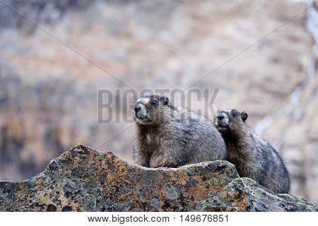 Two Hoary Marmots in mountains. Jasper National Park. Canadian Rocky Mountains. Alberta. Canada.
