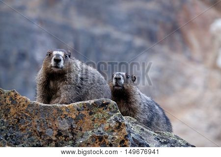 Couple of Hoary Marmots on rocks. Jasper National Park. Rocky Mountains. Alberta. Canada.