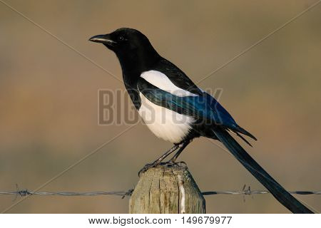 Black-billed Magpie on a fence post in the summer