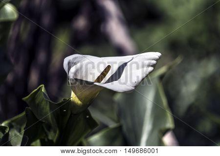 big white calla flowers outdoor macro closeup