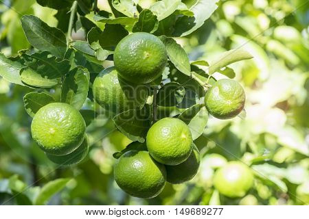 lime on tree and sun filter fare - can use to display or montage on products