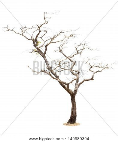 big dry tree isolated on white background