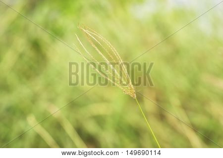 abstract single wheat grass on blur background - can use to display or montage on products