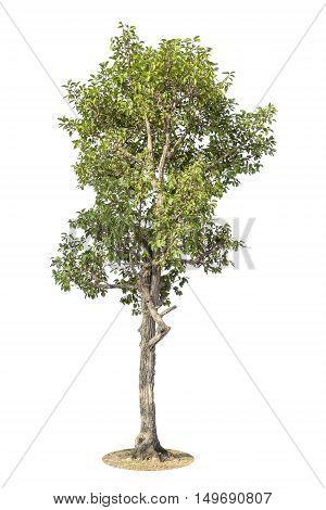 Tree Isolated On White Background