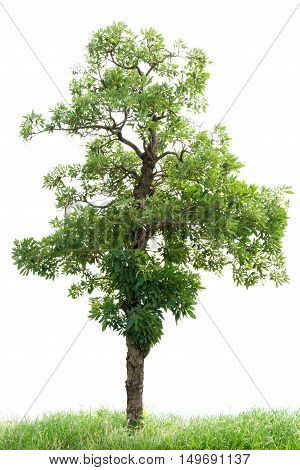 Tree With Grass Isolated On White Background