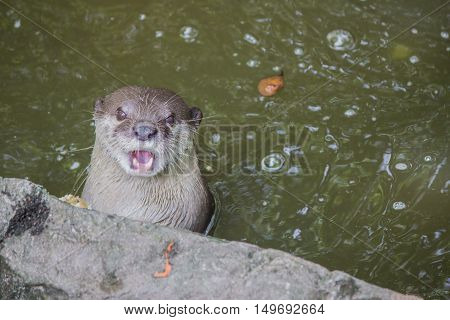 Otter In The Water.