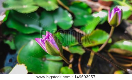 Lotus in the bath aquatic plant  Flower
