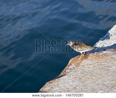 Ruddy Turnstone (Arenaria interpres) in winter plumage standing on a pier