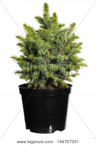 Seedling trees in black plastic pot isolated on white background