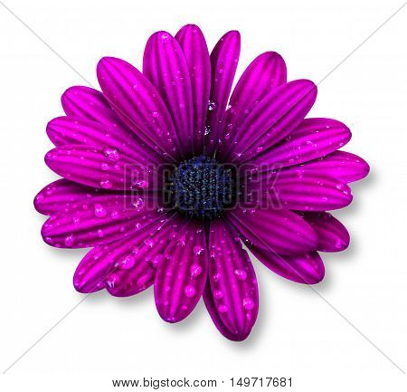 Purple osteospermum daisy or cape daisy flower isolated over white background.
