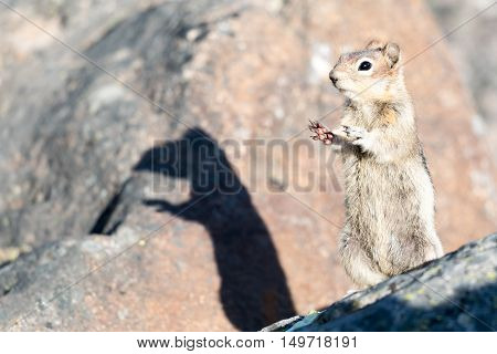 Golden-mantled Ground Squirrel Jasper National Park Canada