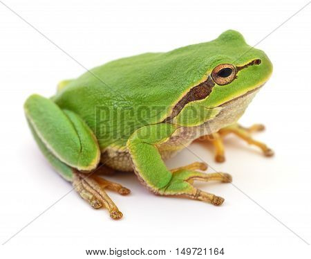 Small green frog isolated on white background.