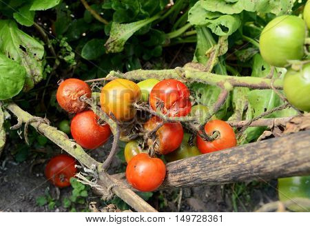 Split And Blight-afflicted Cherry Tomatoes