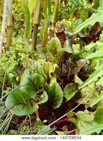 Beetroot Growing Surrounded By Salad Leaves