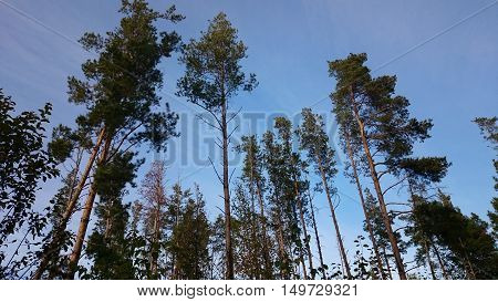 The treetops of pines and blue sky