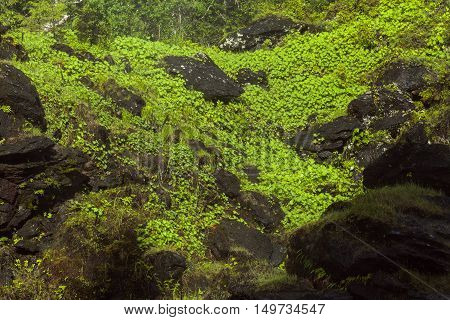Plants, common lady's mantle on a wet cliff. The mist from a waterfall makes the leaves wet during the summer.