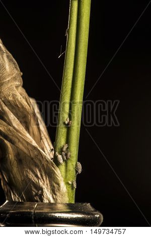 lice on withered iris flower petals studio macro closeup