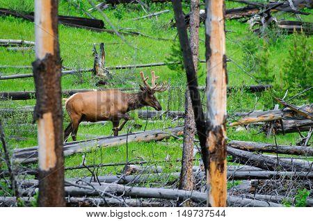 Wild Bull Elk