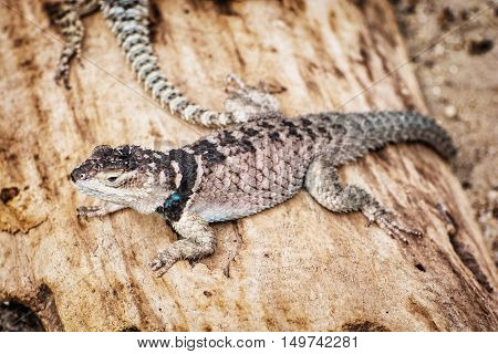 Spiny lizard - Sceloporus cyanogenys - on the wooden texture. Animal theme. Beauty in nature.