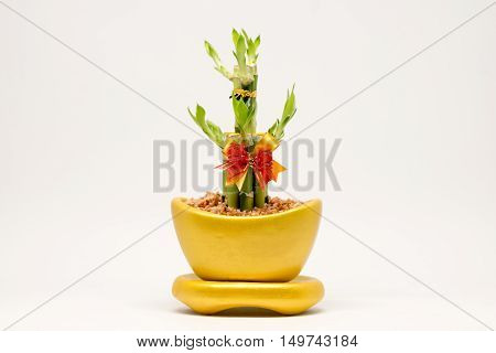 Lucky bamboo and golden pot in Chinese believe with white background.